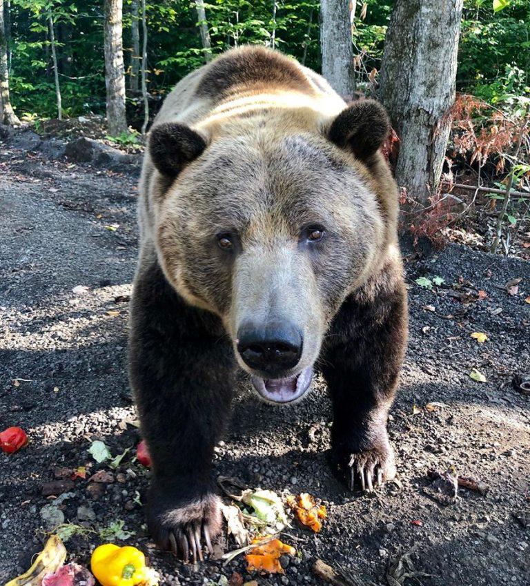 Baloo-grizzli-refuge animaux-familizoo-zoo